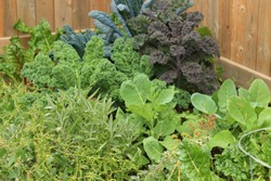 Urban gardening. Fresh vegetables from the garden to your dinner table. Organic, health and nutritious. Fresh food with high nutritional value
