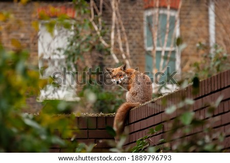 Urban red fox (Vulpes vulpes) wandering on top of brick wall spiked with broken glass on very early morning in residential gardens.