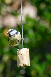 Urban wildlife bluetit (Cyanistes caeruleus) perched on a garden feeder with bird seed