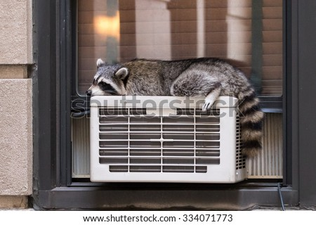 Urban Wildlife: raccoon sleeping on air conditioner