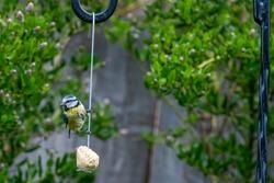 Urban wildlife with a bluetit (cyanistes caeruleus) perched and feeding off a garden suet bird feeder