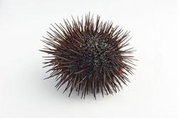 Urchin macro photography, Close up at white back-round