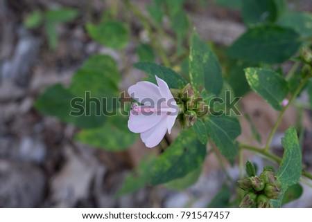 Free photos 5 petal pink flower avopix urena lobata l caesar weedthe grass is a barn the leaf is mightylinksfo