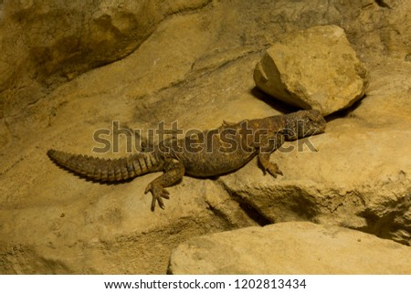 Uromastyx ornata,  ornate mastigure (Ornate spiny-tailed lizard). #1202813434
