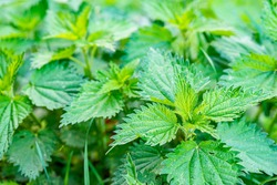 Urtica dioica, often known as common nettle, stinging nettle or nettle leaf, or just a nettle or stinger, is a herbaceous perennial flowering plant in the family Urticaceae.