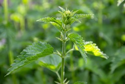 Urtica dioica or stinging nettle, in the garden. Stinging nettle, a medicinal plant that is used as a bleeding, diuretic, antipyretic, wound healing, antirheumatic agent.