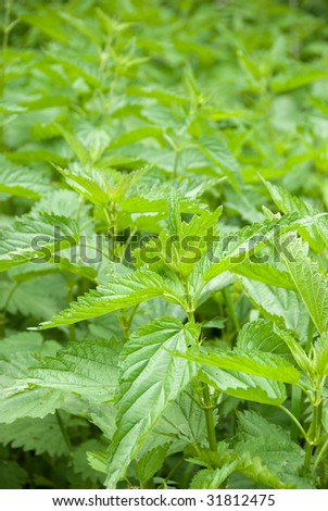 Urtica urens. Young nettle in a forest - stock photo