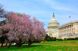 US Capitol hill in cherry bloom
