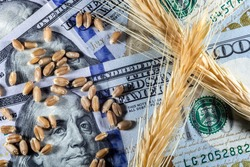 US dollars and ripe ears and seeds of yellow wheat in Brazil