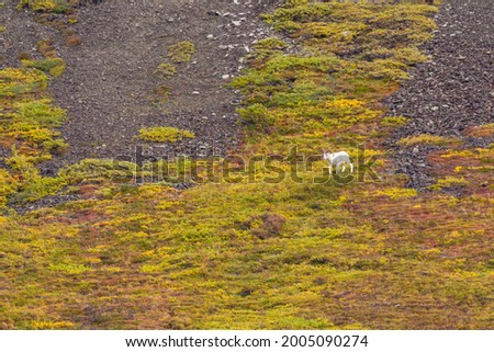 USA, Alaska. Fall colors in Denali National Park with a Dall Sheep grazing on the hillside. Photo stock ©
