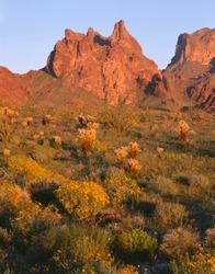 USA, Arizona, Kofa National Wildlife Refuge, Evening light on brittlebush, cholla and ocotillo growing on desert plains at base of rugged Kofa Mountains.