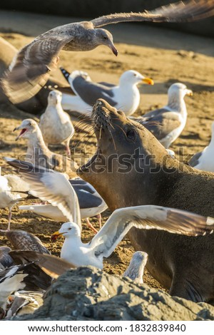 USA, California, San Luis Obispo County. Northern elephant seal female scaring gulls away from new-born pup. Foto stock ©