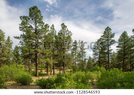 USA, Colorado, Montezuma County, San Juan National Forest. A open park-like Ponderosa pine (Pinus ponderosa) woodland with understory of Gambel's oak (Quercus gambelii)