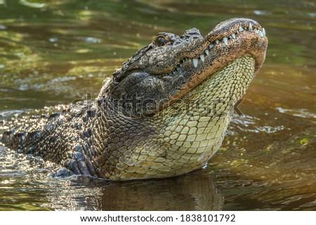 USA, Florida, Anastasia Island, Alligator Farm. Captive alligator making sub-sonic mating call.