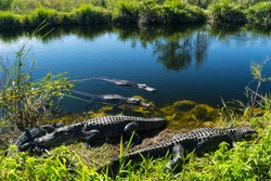USA, Florida, Herd of crocodiles enjoying the sun in everglades national park