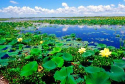 USA, Louisiana, Water lilies along the Creole Nature Trail, Louisiana Outback