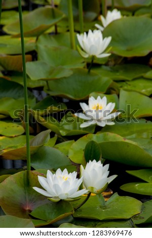 USA, Michigan, Pictured Rock National Lakeshore. White water lily (Nymphaea alba) flowering in a pond.