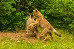 USA, Minnesota, Pine County. Coyote pups playing at den.