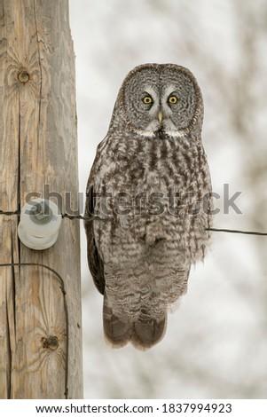USA, Minnesota, Sax-Zim Bog. Great gray owl on power line. Zdjęcia stock ©