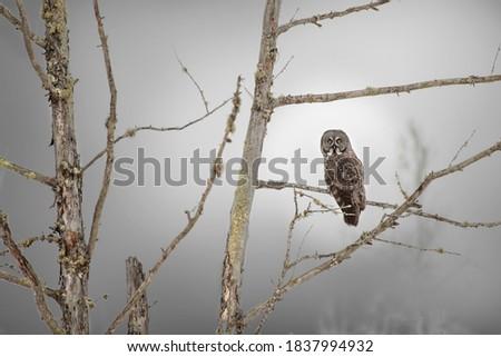 USA, Minnesota, Sax-Zim Bog. Great gray owl on tree branch on foggy winter morning. Zdjęcia stock ©