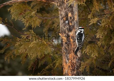 USA, Minnesota, Sax-Zim Bog. Male hairy woodpecker on tree trunk. Zdjęcia stock ©