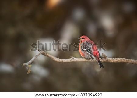 USA, Minnesota, Sax-Zim Bog. Pine grosbeak male singing. Zdjęcia stock ©