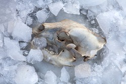 USA, Montana. Close-up of grizzly bear skull frozen in ice.