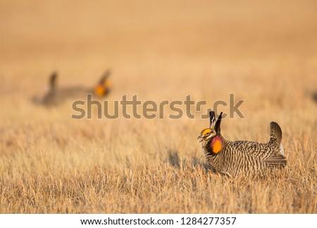 USA, Nebraska, Burwell, Sandhills, Greater Prairie Chickens displaying on lek #1284277357