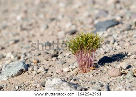 USA, Nevada, Clark County, Eldorado Valley, Boulder City. A bundle of Russian thistle tumbleweed (Salsola tragus) weed seedlings growing in a cohort germinating from a cache of seeds stored by a roden Stock foto ©