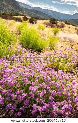 USA, New Mexico, Sandia Mountains. Mountain landscape with verbena flowers. Stok fotoğraf ©