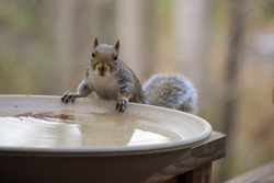 USA, Tennessee, Athens. Backyard bird bath attraction for birds and other animals. Eastern Gray Squirrel (Sciurus carolinensis).