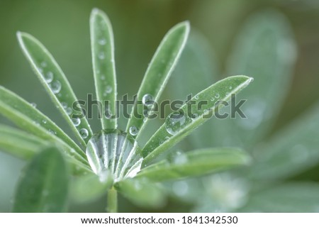 USA, Washington State, Port Townsend. Raindrops on lupine at Fort Worden State Park. Stockfoto ©