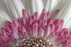 USA, Washington State, Seabeck. Gerbera daisy flower close-up.