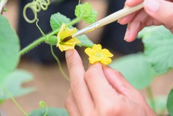 Use paintbrush for Pollinate of Melon flower in green house