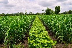 Useful crop rotation in agriculture. maize and Mung bean tree (Vigna radiata). Beautiful farm. Agriculture field. Cultivated field.