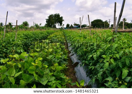 Useful crop rotation. inter cropping. New innovation in agriculture. Mix crops of Tomatos and Mung bean tree (Vigna radiata). Mung bean tree used as legumes crop and green manuare. Organic farming. #1481465321