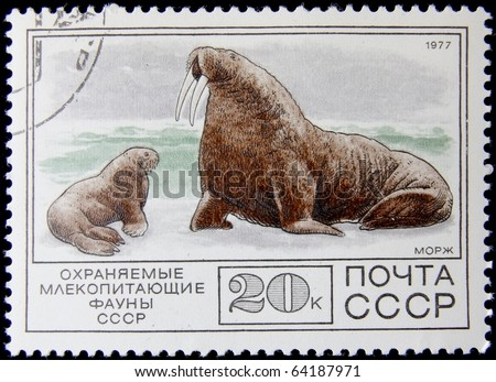 USSR - CIRCA 1977: A post stamp printed in  USSR shows Walrus with a baby,series, circa 1977