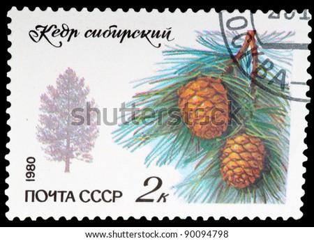USSR - CIRCA 1980: A stamp printed in USSR shows the cedar siberian, circa 1980