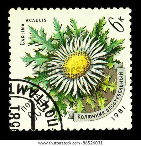 USSR - CIRCA 1981: stamp printed by USSR, shows Carlina Acaulis, circa 1981