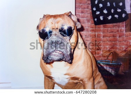 USSR, LENINGRAD - CIRCA 1996: Vintage photo of funny boxer dog in sunglasses