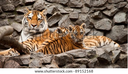 ussuri tigers family mother and two child