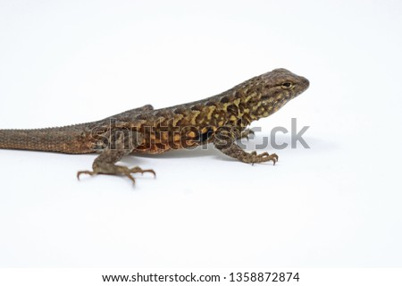 Uta stansburiana Side-blotched Lizard
