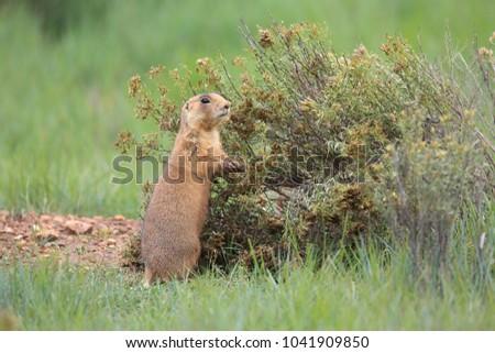 Utah Prairie Dog - Bryce Canyon National Park ストックフォト ©