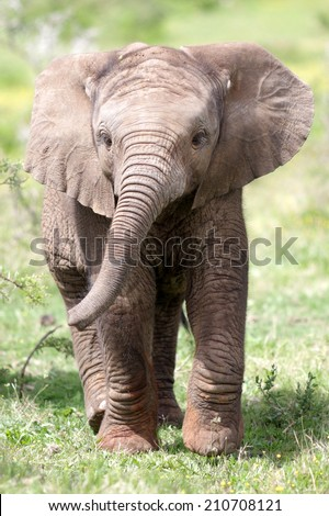 ute baby elephant calf in this portrait image from South Africa