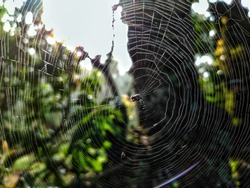 uttarakhand,india-2 june 2020:spider wed..spider web wallpaper.spider in web.cobwebs.forest creatures.animal net on tree.trap.this picture was captures in a rainy forest.wallpaper.
