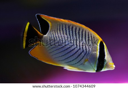 V-lined butterflyfish or triangulate butterflyfish or Chevron Butterflyfish (Chaetodon trifascialis) #1074344609