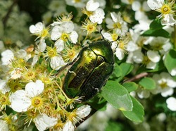 V-shaped scutellum of European rose chafer (Cetonia aurata) or green rose chafer insect on plant in garden pollinating vegetation, in summer