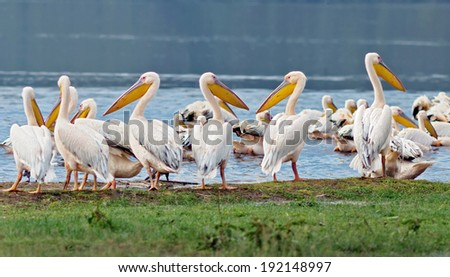 Vacationers white pelicans in Lake Nakuru National Park - Kenya, Africa