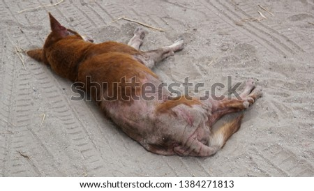 Vagrant dog is sick as canine demodicosis ​​is sleeping on the ground. #1384271813