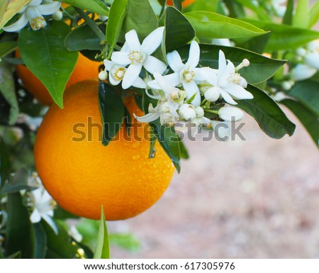Valencian orange and orange blossoms after rein with water drops. Spain.Spring